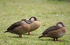 Free Wild Duck Stock Photography - 2940012