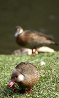 Free A Couple Wild Duck Royalty Free Stock Images - 2940049