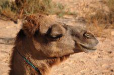 Free Camel Stock Image - 2940881