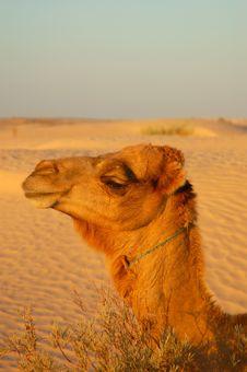 Free Camel Head Royalty Free Stock Photography - 2940937