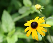 Free Brown Eyed Susan Stock Photos - 2941123