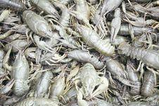 Free Heap Of Crayfish Royalty Free Stock Photos - 2942348