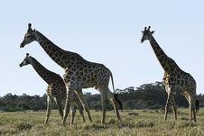 Free Giraffe Walking Past Royalty Free Stock Photos - 2943588