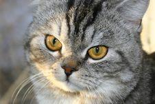 Grey Cat. Yellow Eyes. Stock Photography
