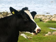 Free Black And White Cow Royalty Free Stock Photo - 2945915