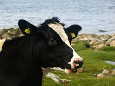 Free Black And White Cow Stock Photo - 2945920