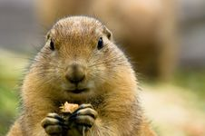Free Cute Prarie Dog Stock Photo - 2945960