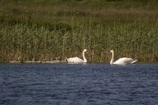 Free Swans In Ireland Royalty Free Stock Photos - 2946918