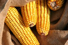 Seed Corn After The Harvest Stock Photography