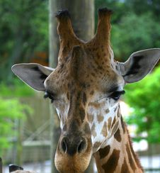 Free Portrait Of Giraffe Royalty Free Stock Photos - 2948338