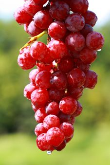 Free Delicious Cluster Of Grapes Stock Photos - 2948483