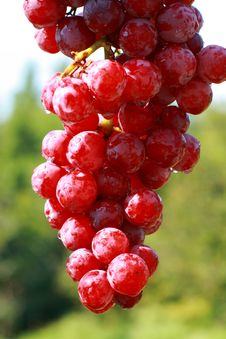Free Delicious Cluster Of Grapes Stock Photos - 2948513