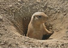 Free Black-tailed Prairie Dog Stock Images - 2949384