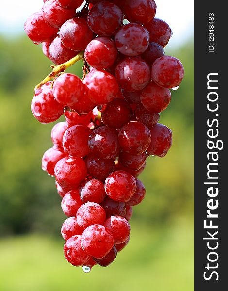 Delicious Cluster of Grapes