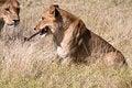 Free Lion Cub With Bone Stock Photos - 29409323