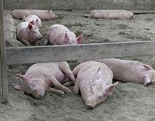 Free Sleeping Hogs Royalty Free Stock Photos - 29409038