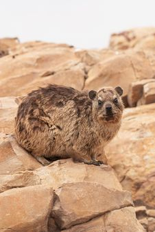 Free Dassie Stock Photo - 29409930