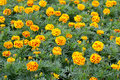 Free French Marigolds Stock Photography - 29417892