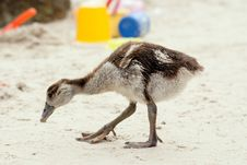 Free Egyptian Gosling On Beach Royalty Free Stock Photos - 29410048