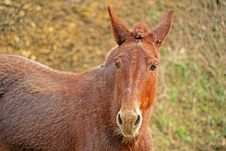 Free A Red Mule Close-up. Royalty Free Stock Image - 29410366