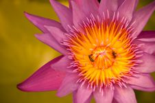 Free Insect And Purple Water Lily Royalty Free Stock Photo - 29411955