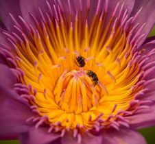 Free Insect And Purple Water Lily Stock Images - 29411964