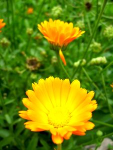 Beautiful Flower Of Yellow Calendula Stock Photography