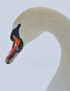 Free Mute Swan Royalty Free Stock Image - 29417186