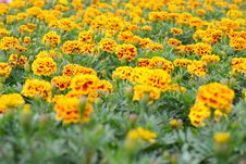 French Marigolds Stock Images