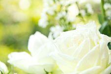 Free White Rose Background Royalty Free Stock Photos - 29430918