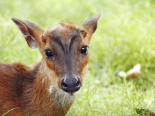 Free Barking Deer Royalty Free Stock Photos - 29442898