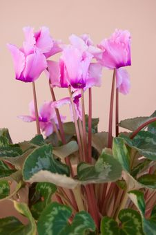 Free Pink Blossom Cyclamen Stock Photos - 29442933