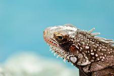 Free Iguana Royalty Free Stock Image - 29444796