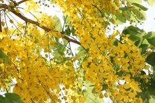 Free Ratchaphruek Trees. Royalty Free Stock Image - 29458456