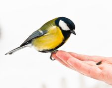Free Great Tit Royalty Free Stock Photography - 29459657