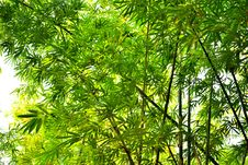 Free Bamboo Forest Royalty Free Stock Photos - 29459978