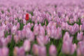 Free Red Tulip In Field Royalty Free Stock Photos - 29466638