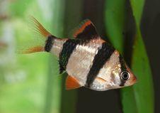 Free Sumatra Barb. Aquarium Fish Royalty Free Stock Image - 29460406