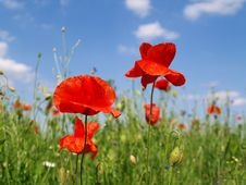Free Poppy Flowers Royalty Free Stock Photography - 29460757