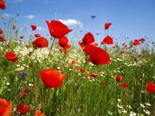 Free Poppy Field Royalty Free Stock Photography - 29460887