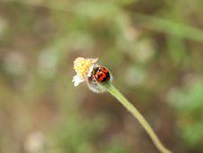 Free Ladybug Royalty Free Stock Image - 29462086