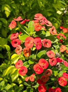 Free Red Euphorbia Stock Image - 29466271