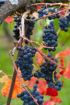 Free Grapes Stock Photography - 29466742