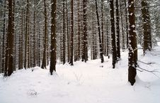 Free Snowy Spruce Forest Royalty Free Stock Photos - 29467348