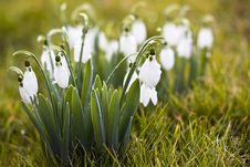 Free Beautiful White Snowdrops Stock Photography - 29472152