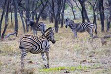 Free Zebras In The Wild Stock Images - 29473154