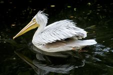 Free White Pelican Stock Images - 29475424