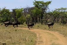 Free Wildebeast Running Away Royalty Free Stock Photography - 29475557