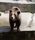 Free Big Brown Bear In City Zoo Stock Photos - 29487123