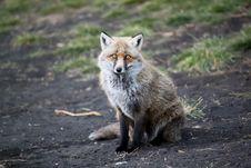 Free Fox Royalty Free Stock Photo - 29480945